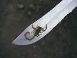 A Small Scorpion Found in the School Storage Room Sits on a Knife Blade