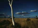 A Gum Tree Rises Above Grasses of the Simpson Desert