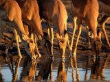 Female Impalas Drink at a Watering Hole