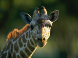 Portrait of a Reticulated Giraffe
