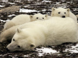 Polar Bear  Mother and Cubs  Ursus Maritimus