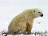 Polar Bear  Ursus Maritimus  Churchill  Manitoba