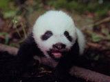Juvenile Panda Just Starting to Open Her Eyes