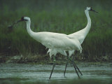 Two Whooping Cranes at the Refuge