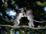 Two Young Long-Tailed Macaques Wrestle While Balancing on a Tree Branch