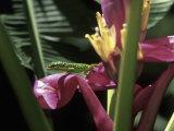 Banana Flower and Lizard  Jardin de Balata  FWI