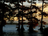 Bald Cypress Trees Growing Along the Banks of Reelfoot Lake