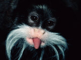 A Captive Emperor Tamarin Sticks its Tongue Out