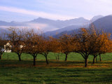 Morning Mist Over Orchards Beneath Bavarian Alps  Germany