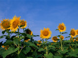 A Close View of Sunflowers