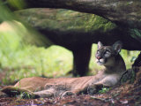 A Florida panther