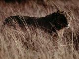 A Portrait of a Female African Lion Standing in Tall Grass at Twilight