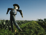 A Smiling Scarecrow Stands Guard over Pumpkin Fields