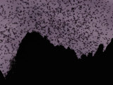 A Cloud of Bats Fills the Twilight Sky over Sarawak Papier Photo par Mattias Klum