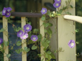 Purple Flowers Bloom on a Vine That Wraps Around a Wooden Fence
