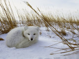An Arctic Fox Curls up in the Snow for a Nap