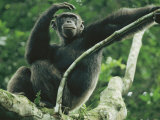 A Male Chimpanzee Dubbed Cole Lounges in the Branches of a Tree