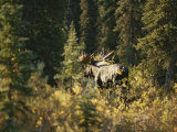 A Moose in Denali National Park