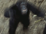 An Angry Adult Male Chimpanzee (Pan Troglodytes)