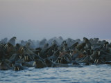 A Group of Walruses  Odobenus Rosmarus  Seek Safety in Numbers