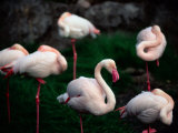 A Group of Flamingos Resting Upon One Foot