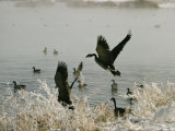 Canada Geese Land on the Water