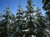 Snow-Covered Pine Trees on a Cold Sunny Winter Day in Canada