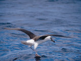 Black-Browed Albatross Fly-Walks over Ocean Surface