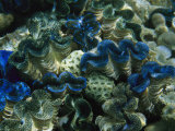Giant Clams  Phoenix Islands