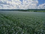 Flax Field  Saskatchewan  Canada
