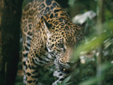 A Captive Leopard Stalks Through the Dark Brush