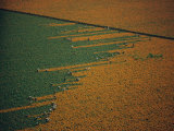 Aerial View of Workers in a Marigold Field