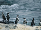 Humboldt  or Peruvian  Penguins on a Rocky Shore