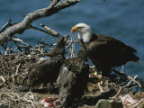 An Eagle Feeds its Two Month-Old Eaglets