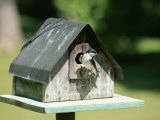 A Tree Swallow Perched at the Door of a Birdhouse
