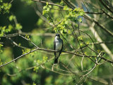A Tree Swallow Perched on a Tree Branch with New Spring Foliage