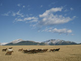Mares Running over the Prairie with the Rocky Mountains in Background