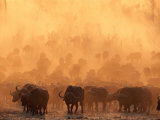 A Herd of Cape Buffalo Create a Dust Cloud