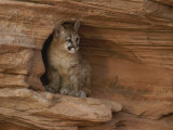 A Young Mountain Lion Rests in a Rocky Niche