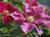 Close View of Clematis Flowers