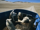 Llamas and Alpacas Ride in Style Across Perus High Desert Plain