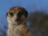 A Close View of a Meerkat (Suricata Suricatta)