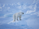 A Polar Bear in a Landscape of Rough Ice
