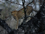 A Leopard (Panthera Pardus) in a Tree