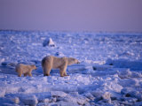 A Polar Bear and Her Cub Cross an Ice Field