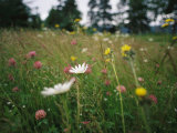 A Field of Blooming Wildflowers Containing Clover  Daisies and Others
