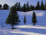 Evergreens Grace a Snowy Landscape