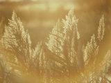 Sun Highlights Wispy Seedheads on Bullrushes