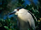 An Adult Black-Crowned Night Heron
