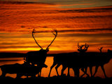 Caribou are Silhouetted against a Beautiful Orange Sky